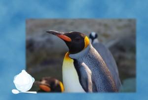 ペンギン写真入りー文字なし