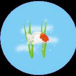 金魚のイラスト(PNG)